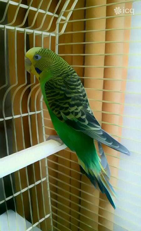 волнистый попугай icq